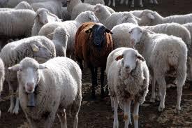Sheep - black or white